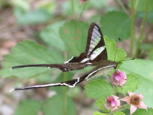 鳳園之寶~ 燕鳳蝶